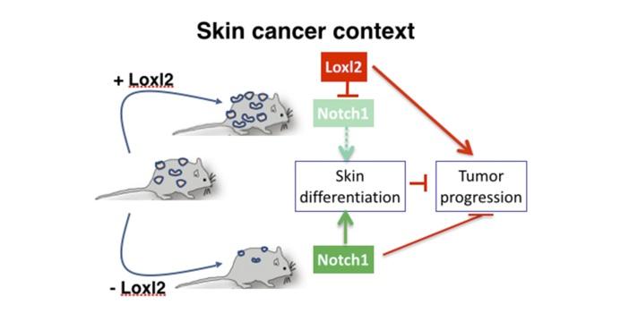 Identifican un nuevo 'actor' en la progresión de carcinomas escamosos