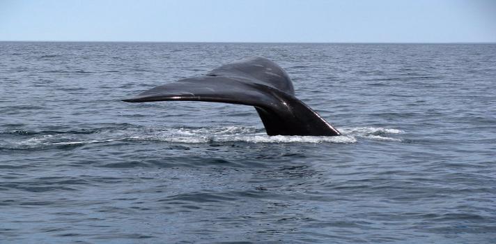 Expertos chilenos abogan por la preservación de la ballena azul