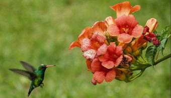 Colombianos estudian la evolución del color de los colibríes