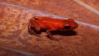 """<p style=text-align: justify;>El anfibio, especie que en general corre peligro de extinción debido a que el cambio climático está poniendo en riesgo su hábitat natural, fue descubierto por científicos del <strong><a href=https://www.stri.si.edu/espanol/#.VCmlDmd5PZE target=_blank>Instituto Smithsonian de Investigaciones Tropicales</a></strong>(STRI) de Panamá.</p><p style=text-align: justify;></p><p style=text-align: justify;></p><p style=text-align: justify;><strong>Lee también</strong></p><p style=text-align: justify;><br/><a style=color: #ff0000; text-decoration: none; title=Sigue toda la actualidad universitaria a través de nuestra página de FACEBOOK href=https://www.facebook.com/pages/Universia-Panam%C3%A1/360712073997116>» <strong>Sigue toda la actualidad universitaria a través de nuestra página de FACEBOOK</strong></a></p><p style=text-align: justify;><br/><a style=color: #ff0000; text-decoration: none; title=Visita nuestro Portal de BECAS y descubre las convocatorias vigentes href=https://becas.universia.com.pa/PA/index.jsp>» <strong>Visita nuestro Portal de BECAS y descubre las convocatorias vigentes</strong></a></p><p style=text-align: justify;></p><p style=text-align: justify;></p><p style=text-align: justify;></p><p style=text-align: justify;><strong>La rana es de color naranja brillante, es venenosa y mide tan sólo 12.7 milímetros de longitud</strong>. Los investigadores la bautizaron con el nombre<strong> Andinobates geminisae</strong> en honor a Géminis Vargas, """"por su incondicional apoyo al estudio de herpetología de Panamá"""", publicó la revista <strong><a href=https://zootaxa.info/ target=_blank>Zootaxa</a></strong>.</p><p style=text-align: justify;></p><p style=text-align: justify;></p><p style=text-align: justify;>El hallazgo se produjo gracias al <strong>trabajo en conjunto</strong> de los investigadores del STRI, la <strong><a href=https://www.unachi.ac.pa/ target=_blank>Universidad Autónoma de Chiriquí</a></strong>, en Panamá y la <a href=https:"""