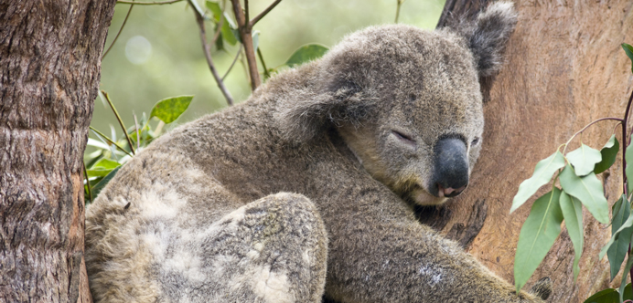 Koala Perth