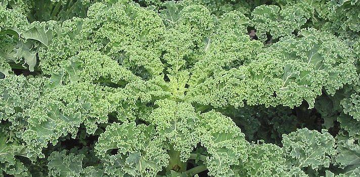 El superalimento del año: el kale