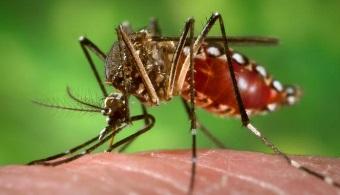 En 2015 estará disponible la vacuna contra el dengue