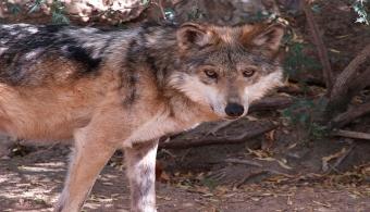 Lobos grises mexicanos se alejan del peligro de extinción