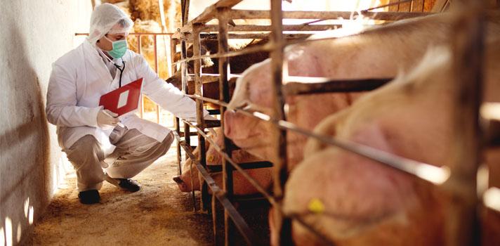 INTA ofrece becas de formación de posgrado en Salud Porcina dirigida a graduados
