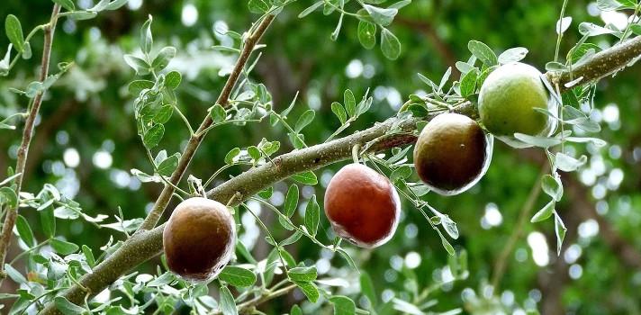 Chañar, fruto nativo de Chile